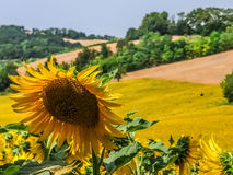 Sunflower. Close up of a sunflower in a cultivated hill near Pesaro Stock Image