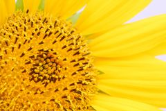 Sunflower close-up details of the sunflower disk and the ray and tiny disk flowers or florets which compose the disk. Macro photo in color Stock Photography