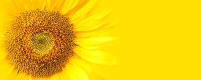 Sunflower close up details on yellow banner wide background macro photo. Concept for summer, sun, sunshine, summer holidays travel. Tropical flower and hot royalty free stock image