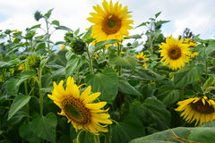 Sunflower. Close up of sunflower in field Royalty Free Stock Photography
