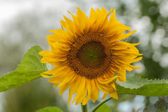 Sunflower close-up. Sunflower flower with a blurred background Royalty Free Stock Photography