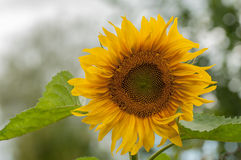 Sunflower close-up. Sunflower flower with a blurred background Stock Photo