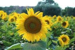 Sunflower 1 Stock Photography