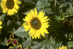 Sunflower. Close-up with green background Royalty Free Stock Photos