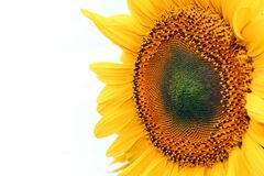 Sunflower close-up isolated Stock Images