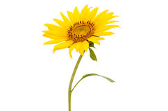 Sunflower close up isolated Stock Photos