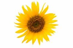 Sunflower close up isolated Stock Photo