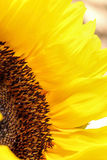 Sunflower close up on a light background. Sunflowers radiant warmth on light background. Sunflowers close up are the happiest of all flowers and their meanings Royalty Free Stock Photos