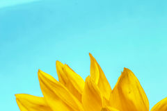 Sunflower close up on a light blue  background Stock Photography