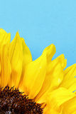 Sunflower close up on a light blue background Royalty Free Stock Images