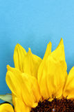 Sunflower close up on a light blue background Royalty Free Stock Image