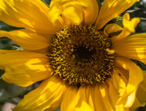 The sunflower from close up looks better the pipes. For my royalty free stock photography