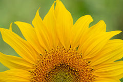 Sunflower close-up. On natural background Royalty Free Stock Image