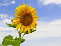 Sunflower close up. Nature details: Sunflower close up with sky and clouds as a background Stock Photography