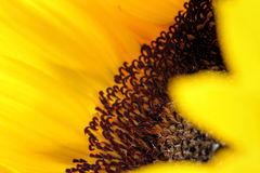 Sunflower close up with no background. Sunflowers radiant warmth with no background. Sunflowers close up are the happiest of all flowers and their meanings Stock Image