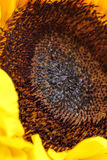 Sunflower close up with no background Royalty Free Stock Photos