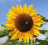 Sunflower. Close up with one in the middle royalty free stock photo