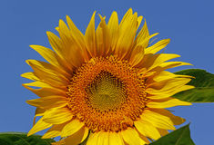 Sunflower. Close up of sunflower over blue sky Royalty Free Stock Images
