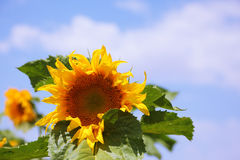 Sunflower close-up photo Stock Images