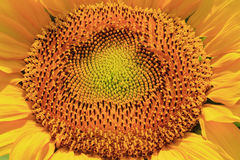 Sunflower. Close up of sunflower seeds Stock Photo