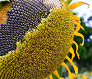 Sunflower close-up. Close up of the seeds in sunflower Stock Images