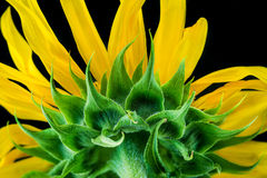 Sunflower close-up. Royalty Free Stock Image