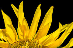 Sunflower close-up. Stock Photo
