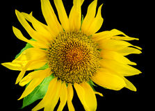 Sunflower close-up. Stock Photography