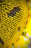 Sunflower close-up. With some of the seeds showing Stock Photography