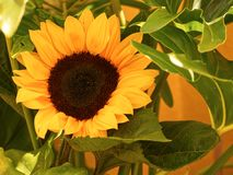 Sunflower close up stock photography