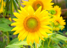 Sunflower ,Close-up. Sunflower at Sunrise, Yellow Flower, Background Royalty Free Stock Photography
