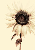 Sunflower. Close-up, tinted black and white image Royalty Free Stock Photo