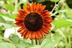 Dark Brown Sunflower Stock Images