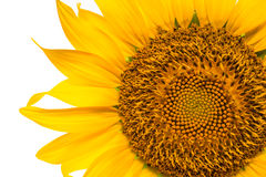 Sunflower close up view Royalty Free Stock Image
