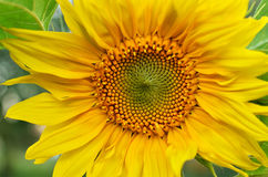 Sunflower close-up view Royalty Free Stock Photos