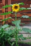 Sunflower Stock Image