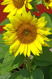 Sunflower close up Royalty Free Stock Photos