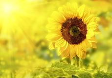 Sunflower close up. Whit spark Royalty Free Stock Photography