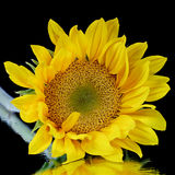 Sunflower. A close up of a yellow Sunflower Royalty Free Stock Photos