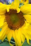 Sunflower close up Stock Photo