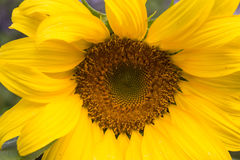 Sunflower close up Royalty Free Stock Photography