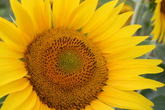 Sunflower. Close-up of a yellow sign nature royalty free stock image