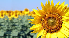 Sunflower closeup. Sunflower in a field with one of them in focus and others in the bokeh for copy area on the left royalty free stock photo