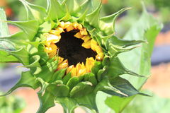 Sunflower Closeup Stock Photography