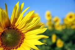 Sunflower closeup. With unsharp background flowers stock photography