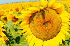 Sunflower closeup Royalty Free Stock Photography