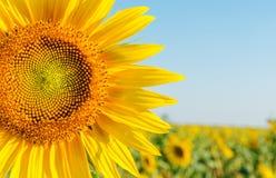 Free Sunflower Closeup Royalty Free Stock Photos - 33237328