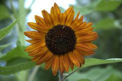 Sunflower Closeup Stock Image
