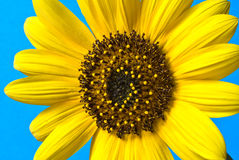 Sunflower closeup. Close up of a young sunflower against a light blue background stock photos