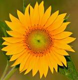 Sunflower. Closeup of a beautiful sunflower stock photo